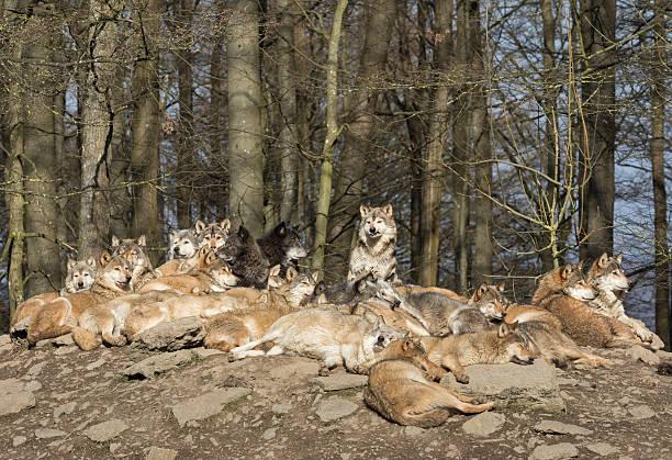 resting_wolves.jpg