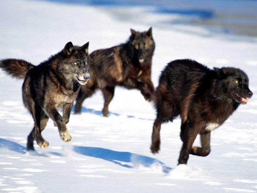 wolf_pax
